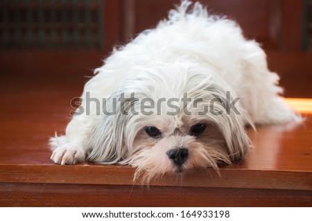 White dog sleep