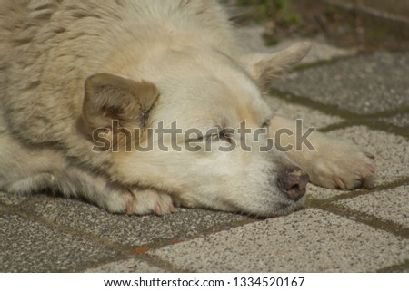 white dog sleeping on square stone ground floor closeup portrait in city stray animals pets in urban life dirty white fur hair lazy mood #1334520167