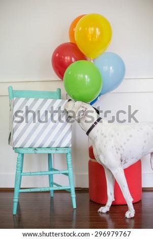 White dog sniffs birthday gift