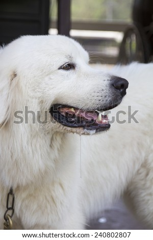 White dog waiting for his master