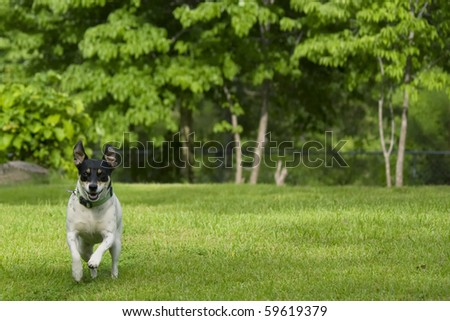 White dog with black ears running and playing in yard