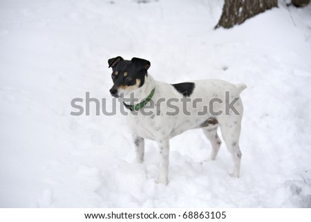 White dog with black face standing in the snow