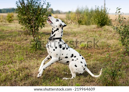 White dog with black spots playing on the lawn.