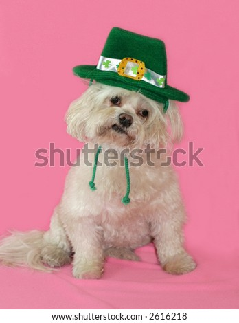 white dog with St. Patrick's day hat