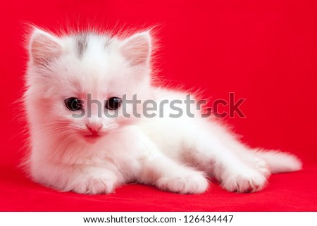 White domestic cat laying down on a red background