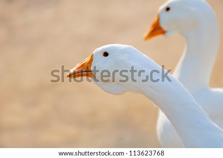 White Domestic Geese Close-Up