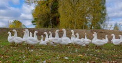 White domestic geese in the yard. Art noise