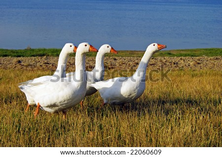 White domestic geese on the lake shore