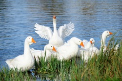 White domestic geese swimming in the lake by the shore with one goose flapping its wings