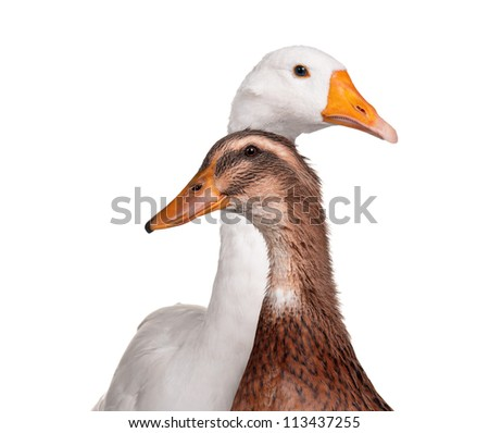 White domestic goose and duck isolated on white background