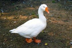 White domestic goose.white goose standing on the farm