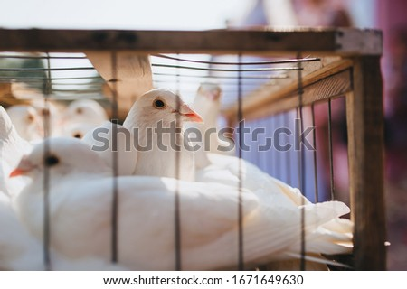 White domestic pigeons sit in a makeshift wooden cage. Beautiful birds locked up. Photography, concept. Wedding surprise.