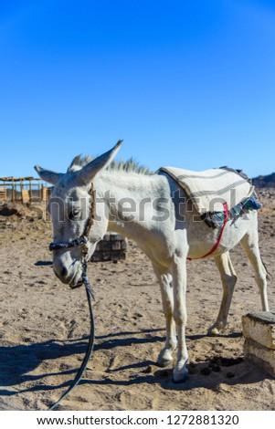 White donkey in egyptian desert not far from Hurghada city #1272881320