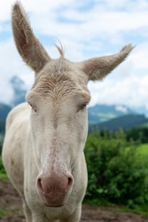 White donkey portrait with high mountains in the background
