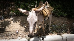 white donkey resting under the shade 2