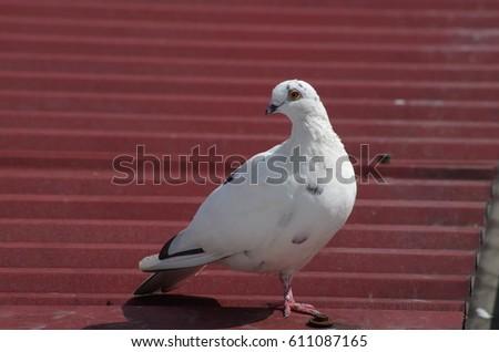 White dove Zdjęcia stock ©
