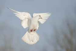 white dove flies beautifully on a sunny day, wildlife