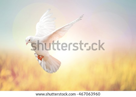 white Dove fly on pastel vintage background for Freedom concept and Clipping path #467063960