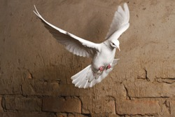 white dove flying against a background of an old brick wall,pigeon, mail, good news, peace