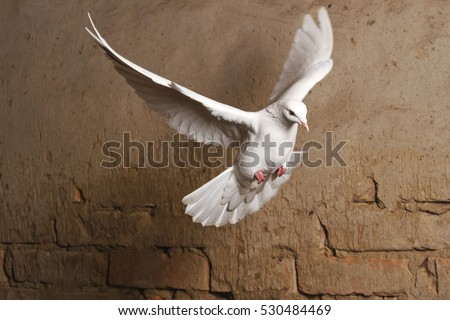 white dove flying against a background of an old brick wall,pigeon, mail, good news, peace #530484469