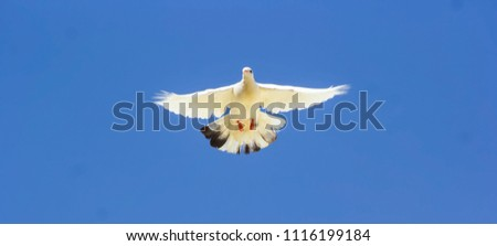White dove flying against the blue sky. #1116199184