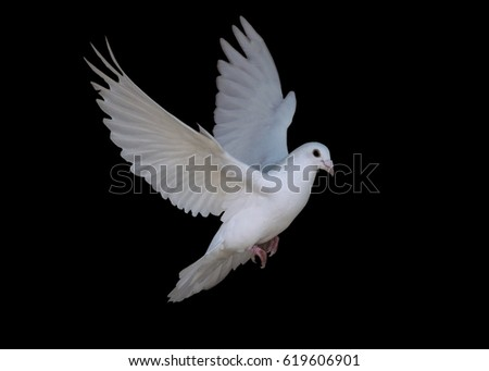 White dove flying isolated at the black #619606901