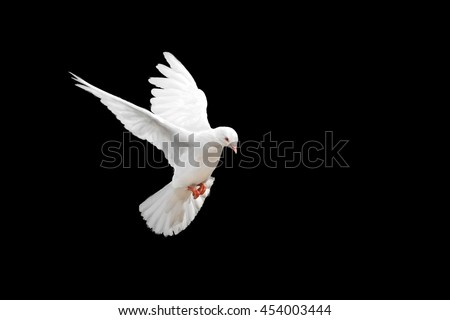 White dove flying on black background and Clipping path .freedom concept and international day of peace 2017 #454003444