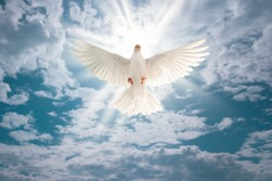 white dove flying on sky in beautiful light for freedom concept