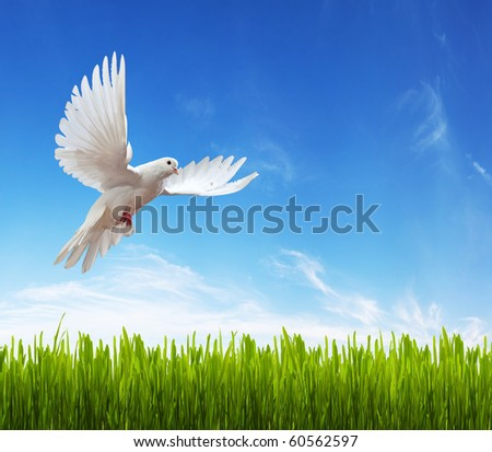 white dove, grass and sky. Background - stock photo
