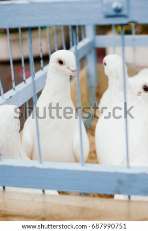 White dove in cage as slavery concept.