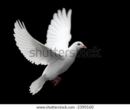 stock photo   white dove in