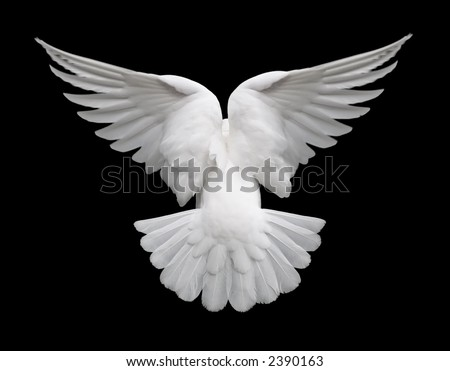 White Dove in Flight 2