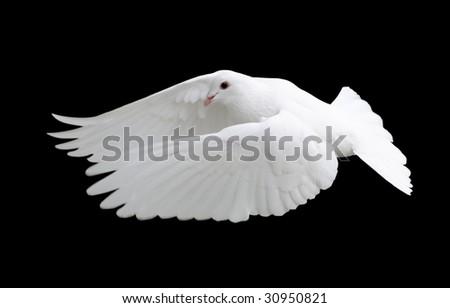 White Dove in Flight 12