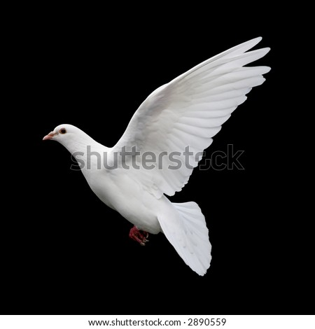 White Dove in Flight 11 A free flying white dove isolated on a black background.