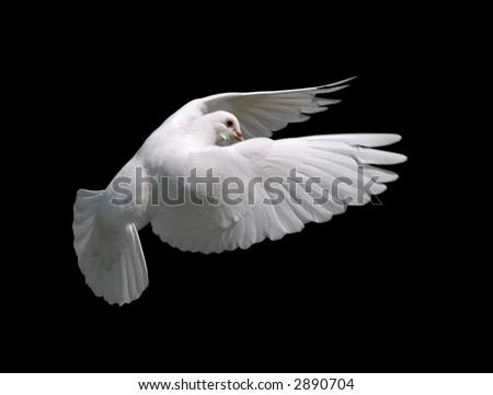 White Dove in Flight 10. A free flying white dove isolated on a black background.