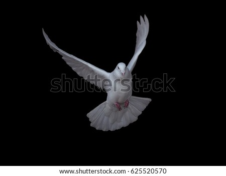 White dove in fly isolated at black #625520570