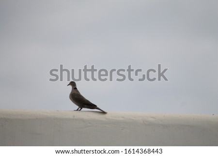 white dove on a white wall with a white background