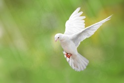 White Dove on green Bokeh and Freedom Concept and international day of peace 2017