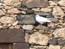 White dove sitting on a farm wall.