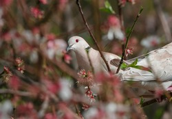 White doves (Eurasian collared dove) pigeons on an almond tree in blossom