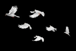 White doves group flying on black background and Clipping path .freedom concept and international day of peace