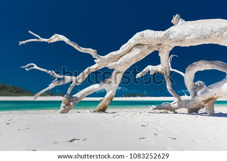 White driftwood tree on amazing Whitehaven Beach with white sand in the Whitsunday Islands, north Queensland, Australia #1083252629
