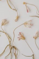 White dry tulip flowers on white background. Beautiful pattern with neutral colors. Minimal, stylish, trend concept. Parisian vibes. Closeup photo.