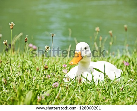 white duck at a meadow