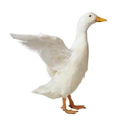 white duck flattering wings