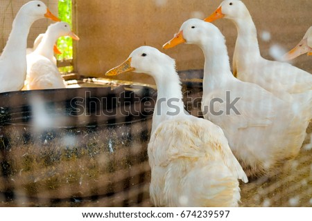 White duck standing on a farm.