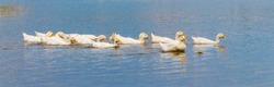 White ducks float down the river summer