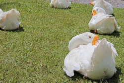 White ducks get some rest in wonderful day. Called as white goose or it can be called as white swan too.