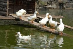 white ducks in pond