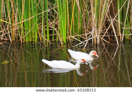 white ducks in the lake